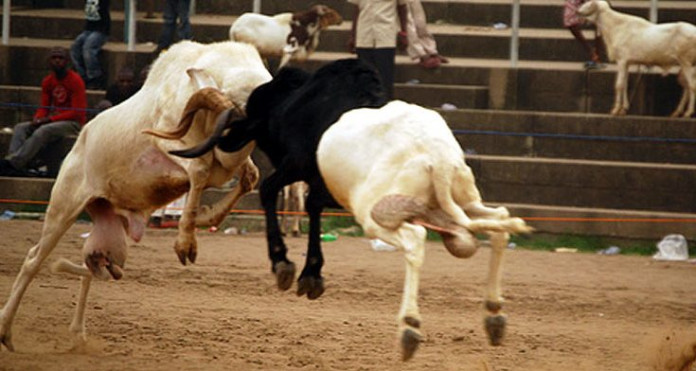 SPECIAL REPORT: Ram fight: Sport against Islamic injunction