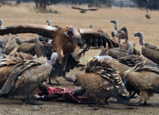 Politicians use vultures for electoral success charm - Wildlife expert