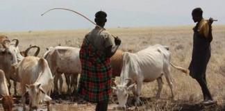 Plateau Killings: Two Herdsmen Missing, 319 Cows Killed- Police