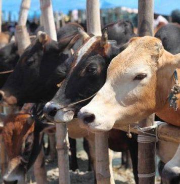 Zamfara Govt Uncovers Hideouts For Stolen Cows