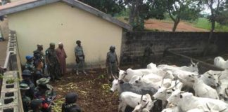 Army Recovers 711 Cows, 592 Sheep From Bandits