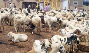 Eid-el-Kabir: Zamfara APC purchases over 1,000 rams, 200 cows for members